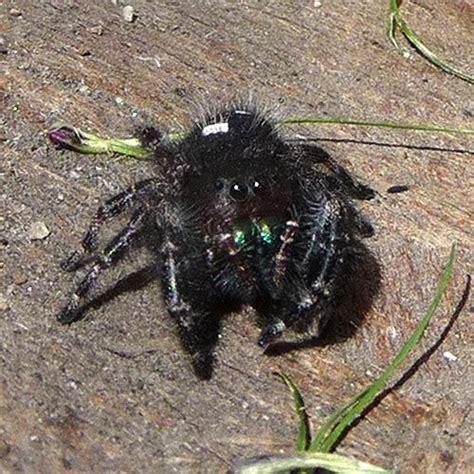 Garden Jumping Spider Poisonous Spider And Arachnid Identifier