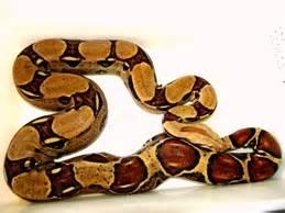 Boa Pastel 1 collection www mnreptil cz captive bred reptiles by