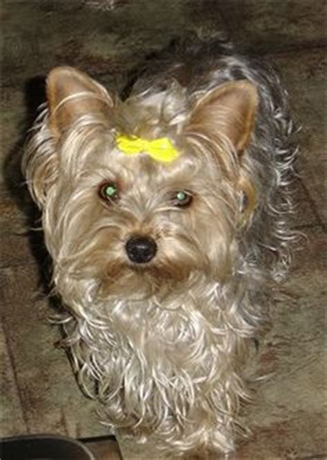 how to layer a long haired yorkie best yorkie hair cuts you how to trim a light coated