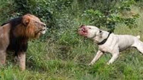 puppy vs hunters leopard vs wolf pitbull best pit pull litle pups