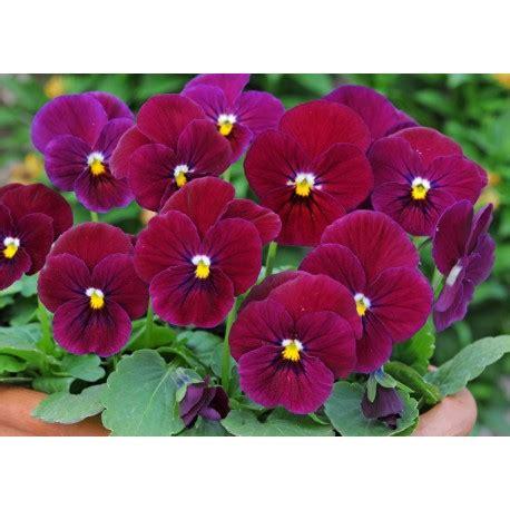 pianta con fiore viola pianta di viola a fiore piccolo sorbet carmine