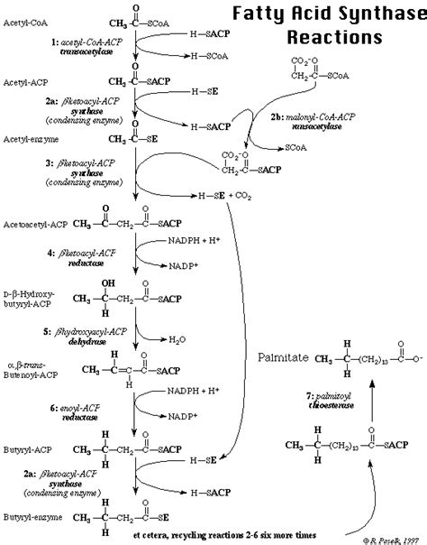 fatty acid synthesis pathway diagram ch432 lecture notes