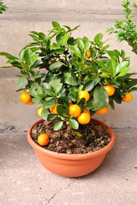 tanaman hias  budidaya tanaman hias buah jeruk nagami