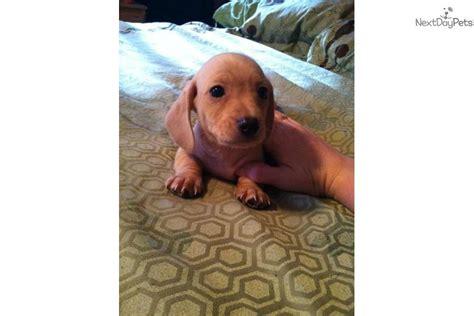 free dachshund puppies near me dachshund mini puppy for sale near richmond indiana ef932f17 71c1