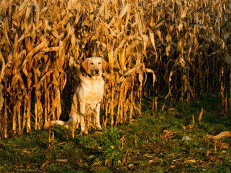 can dogs eat corn on the cob can dogs eat corn american kennel club