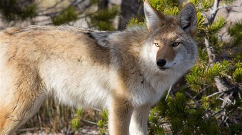 residents concerned  fatal coyote attack