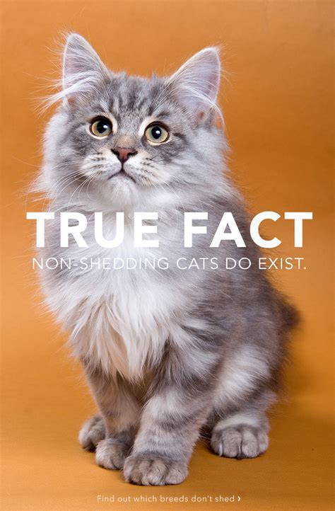 10 top non shedding cats care community