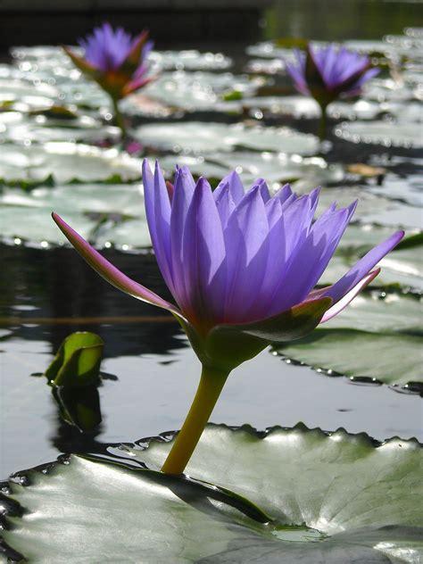 planta aquatica wikipedia  enciclopedia livre