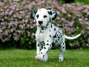 368 images dalmatian love dalmatians roxy pets