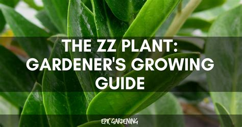 zz plant zamioculcas zamiifolia care  growing guide