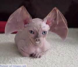chat sans poils avec t 234 te et oreille de chauve souris