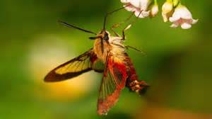 hummingbird moth natures incredible mimic youtube