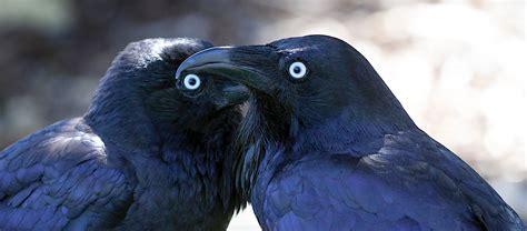 world s smartest birds welcome wildlife