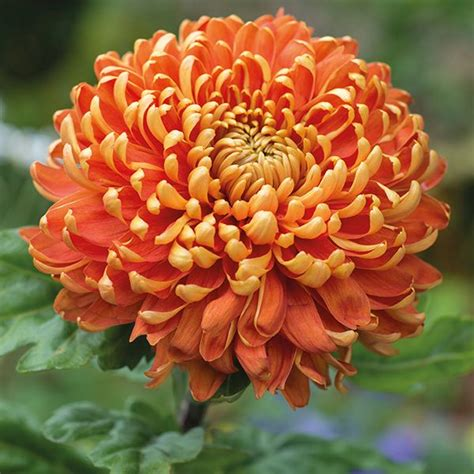 astro flower chrysanthemum astro dark chrysanthemums pinterest