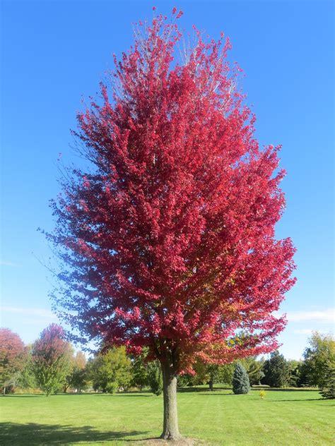 maple trees hardiness zone 4 acer x freemanii jeffersred autumn blaze maple zone 4 40 50 high 20 40 wide plants