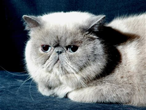 allevamenti persiani gattipersiani it gatti persiani