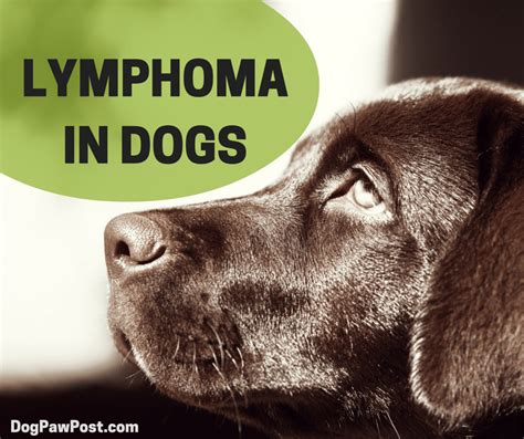 lymphoma cancer in dogs dogs with lymphoma anuvrat info