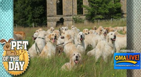 golden retrievers for sale in scotland buy golden retriever scotland dogs our friends photo