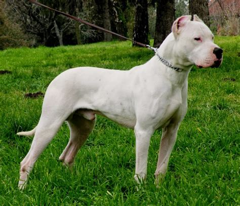 dogo breed dogo argentino origin and history breeds all types