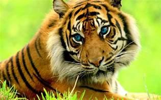 animals pictures tiger animals wallpaper 35230472 fanpop