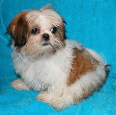 junique shih tzu nursery indiana shih tzu puppies for sale in akc shih tzu