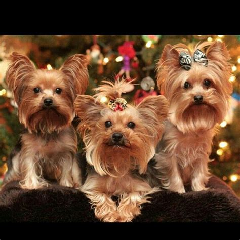 images of christmas yorkies 849 best images about yorkie baby on pinterest yorkie