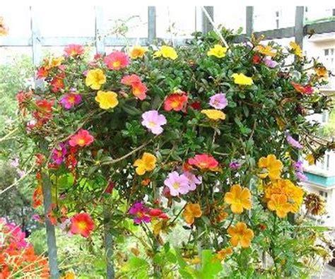 Pupuk Untuk Bunga Begonia tanaman portulaca warna acak 1 rumpun bibitbunga