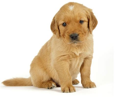 has puppies golden retriever with white markings history