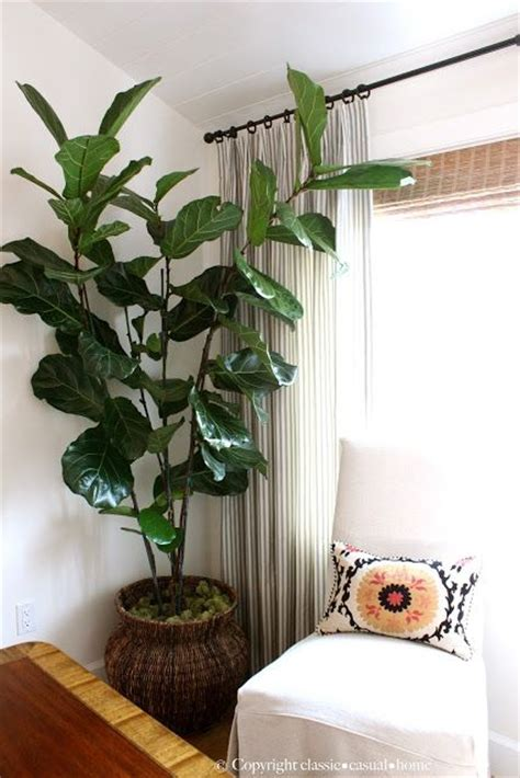 best plants for dark rooms 17 best ideas about indoor fig trees on pinterest fiddle