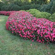 nuova guinea fiori impatiens impatiens piante annuali balsamina