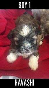 havanese puppies calgary havanese adopt local dogs puppies in calgary kijiji classifieds