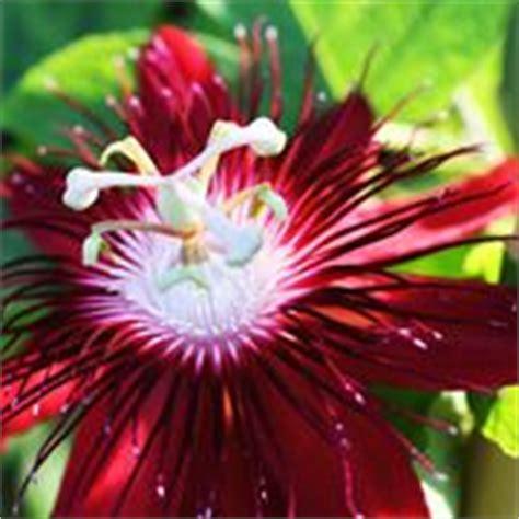 frutto della passione fiore fiore della passione passiflora passiflora