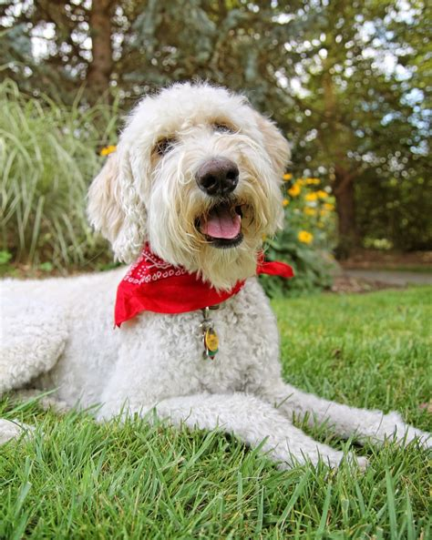 goldendoodle puppy cost tips for getting goldendoodle puppy for your family from puppies
