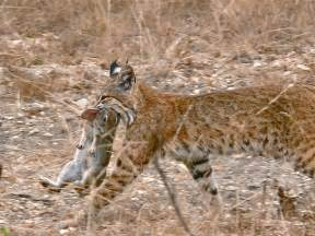 Bed And Breakfast Indiana File Bobcat Having Caught A Rabbit Jpg Wikipedia