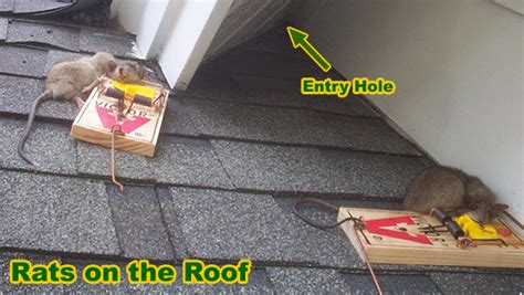 how to keep rats out of garage the best rat of 2018