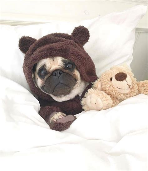 how much are pugs to buy pug teddy pinteres