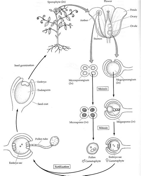 Biji Kopi Lung diagram of a flowering plant gallery how to guide and refrence