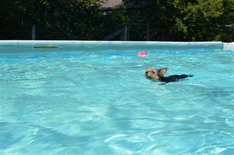 can yorkies swim k9 pool aldergrove