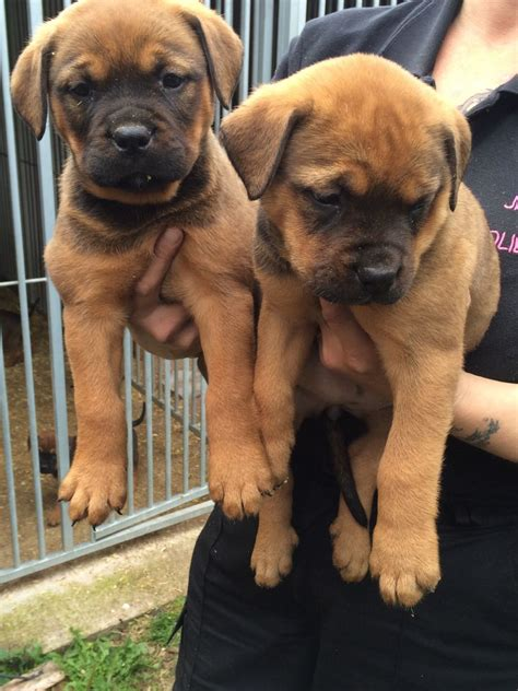 rottweiler and mastiff bull mastiff x rottweiler pups sold thetford norfolk pets4homes