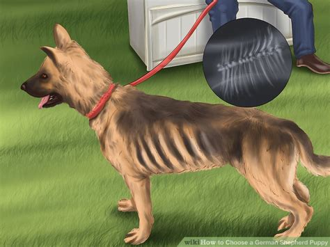 german shepherd puppy rescue how to choose a german shepherd puppy with pictures