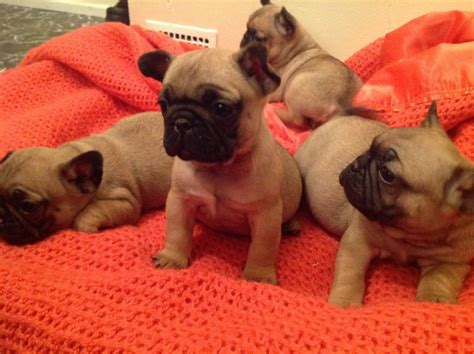 baby puppies for sale beautiful baby frug puppies for sale only 2 norwich norfolk pets4homes