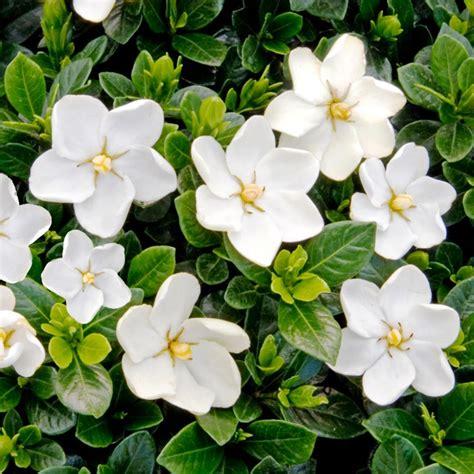 Gardenia Hardiness Gardenia Jasminoides Kleims Hardy 13cm Pot Plant