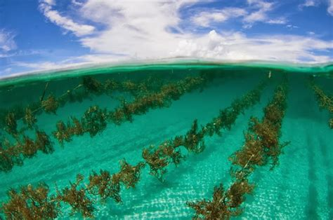 Prospeknya Usaha Budidaya Dengan budidaya rumput laut panduan budidaya agro budidaya