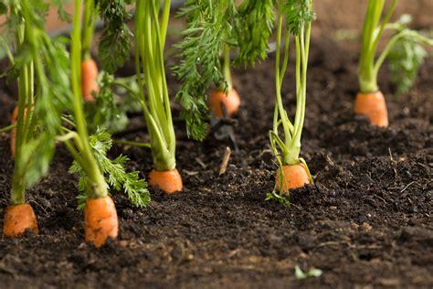 coltivare carote in vaso come coltivare le carote in vaso