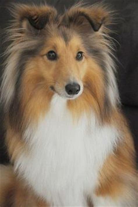top 5 smartest dogs sheltie on shetland sheepdog collie and bessie pease gutmann