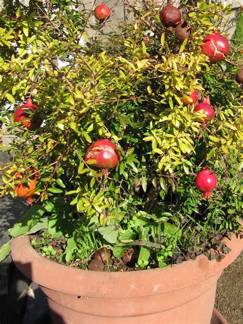 melograno nano in vaso melograno garden it