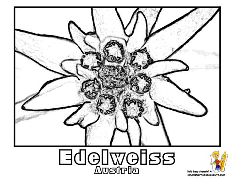 edelweiss flower coloring page worlds flowers coloring nations of argentina french