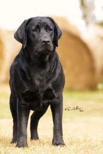 pictures of black lab puppies 1000 ideas about black labrador retriever on black labrador labs and