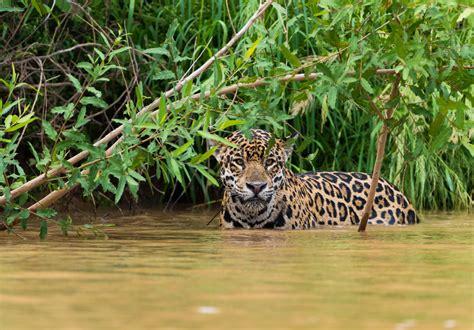 south american jaguar facts jaguar facts in brazil 41 top selection of jaguar images