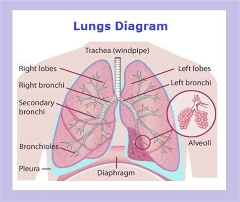 diagram of and lungs anatomy charts